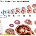 Sự phát triển của thai nhi theo từng tuần tuổi