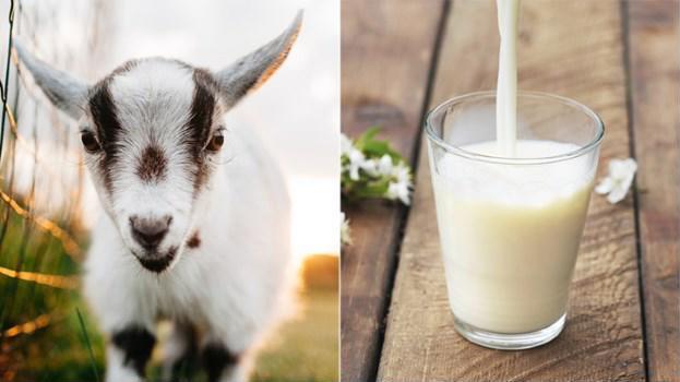 Lợi ích của sữa dê cho bé: mát dễ tiêu hóa, chống dị ứng